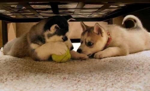 Quality siberians huskys Puppies:contact us at(480) 359-4694