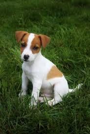 Jack Ru.sse.ll Pups For Sale