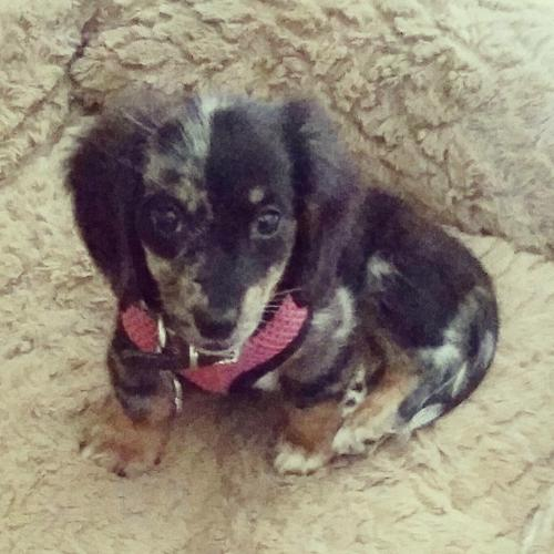 Female Dappled Dachshund