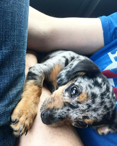 Dappled Dachshund For Sale