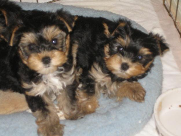 Female and Male Y.o.rkkies Pu.pp.ies in need of a good home(757-315-6422)