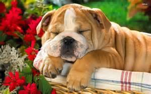 FREE Beautiful Eng.gl.ish Bu.ll.dog Pu.pp.ies Available (410) 934-6612