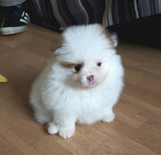 brilliant Pomeranian puppies for sale