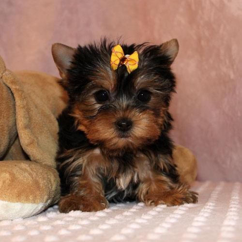 HELLO PALS, We have 2 beautiful gorgeous Tea-cup Yorkies Pu.ppies  boys and 2 beautiful Tea-cup York