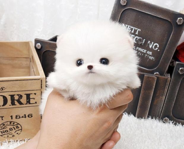Healthy P.o.m.e.r.a.n.i.a.n Puppies !!!sms (312) 841-7848