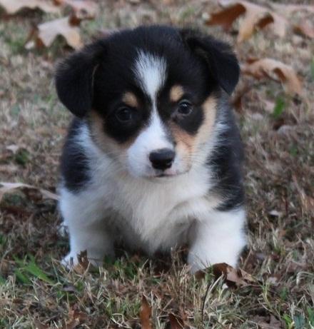Amazing W.E.L.S.H. C.O.R.G.I Pups Ready now (317) 643 0215
