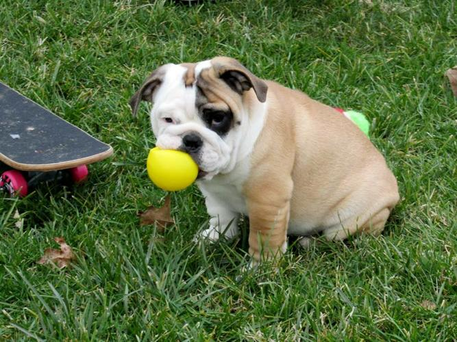 Quality Englishh Bulldoggss Puppies:.... (317) 643 0215