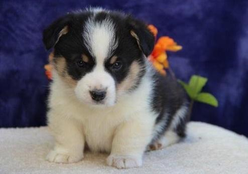 Gorgeous male and female C.O.R.G.I puppies for Rehoming.