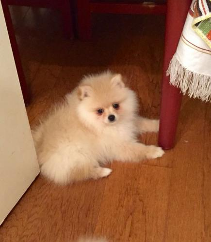 Pomeranianss Puppies Available(646) 439-4926