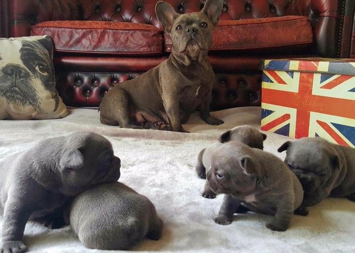 Quality Home Reared AKC Registered Blue French Bulldogs