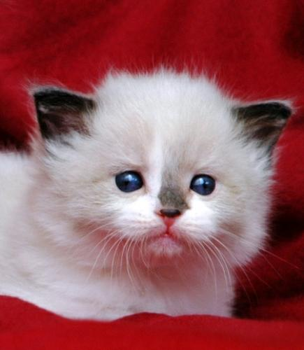 Ragdoll Kittens Available. Contact us at (281)-306-1578