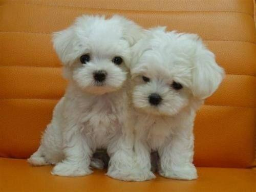Top Quality Malteses Puppies:....contact us at(202)X 509X0230