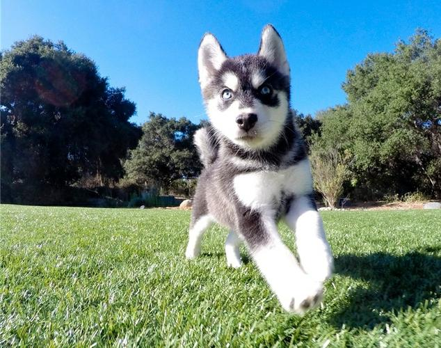 AKC Male and Female Pomsky Pups(678) 845-8136