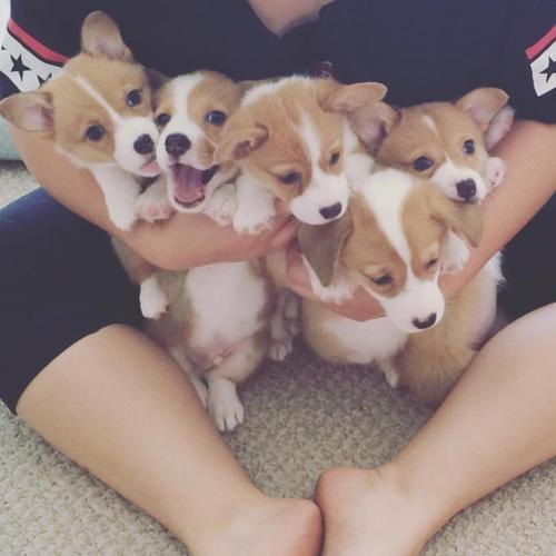 Charming Corgi Puppies Available For Sale