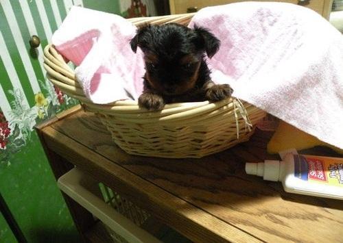 Cute Y.O.R.K.I.E Puppie.s (678)586 4645