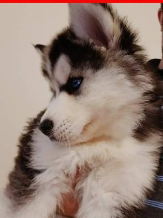 K C Registered Siberian Husky Puppies
