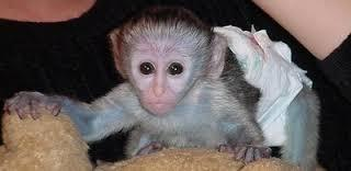 CUTE male and female Capuchin Monkeys For Adoption....................
