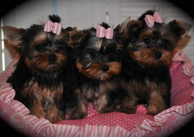 ?Y.o.R.k.i.e P.upp.i.e.s For F.r.e.e, Ready Now 18 Weeks Old (770) 756 8621