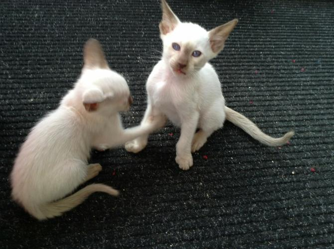 2 Awesome siamese kittens need new homes