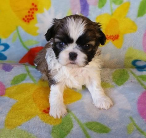 CUTE Pedigree s.h.i.h t.z.u P.u.p.p.i.e.s for Loving Homes!!!502) 996-9711