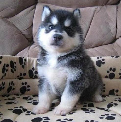 Quality Siberians huskys Puppies:Tex (440)-490-6115