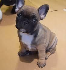 bgcvbcg Healthy F.R.E.N.C.H B.U.L.L.D.O.G puppies!!!(205) 810-0379