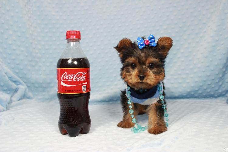 Teacup and Toy Puppies in Las Vegas! Financing Available.