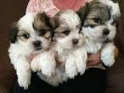 S.h.i.h T.z.u P.u.p.p.ie.s for sale . Contact us at(912)235-0865