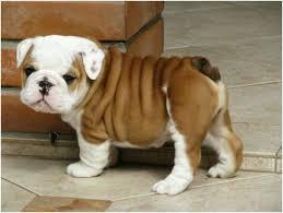 .... We have beautiful and Cute E.N.G.L.I.S.H. B.U.L.L.D.O.G Puppie.s