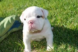 * *# # Quality Englishh Bulldoggss Puppies:....???** (813) 421-2357