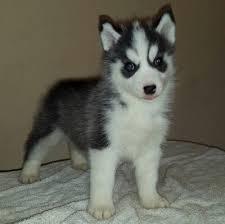 CUTE S.i.b.e.r.i.a.n H.u.s.k.y Puppies: contact us at (321) 428-8202