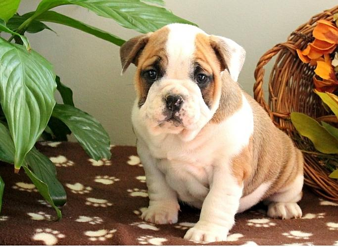 Free  English Bulldogs Puppies