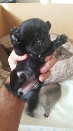Healthy AKC P.U.G Puppies (678) 586-4409