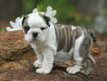 Fantastic Cute Female and Male E.n.g.l.i.s.h B.u.l.l.d.o.g puppies available.
