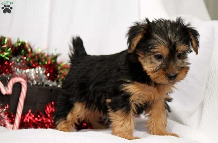 Y.o.R.k.i.e P.upp.i.e.s For F.R.E.E, Ready Now 12 Weeks Old # (815) 317 4959