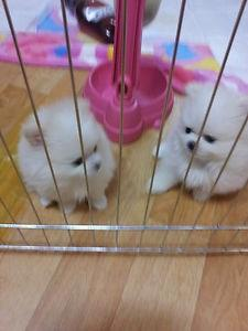 Pomerania puppies need a new home male and female!!$