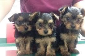 # # ??? WowQuality Teacup Yorkies Puppies:....contact us at/(540) 632-2282!#--