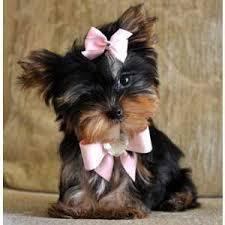 # # ??? WowQuality Teacup Yorkies Puppies:....contact us at/(540) 632-2282!~#;