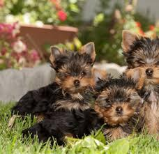 # # ??? WowQuality Teacup Yorkies Puppies:....contact us at/(540) 632-2282!#>,