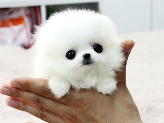 Tiny P.O.M-P.O.M pups Available! Call/Text us (612) (444) (0059)