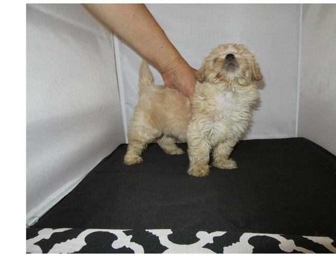Two maltipoo Puppies Needs a New Family