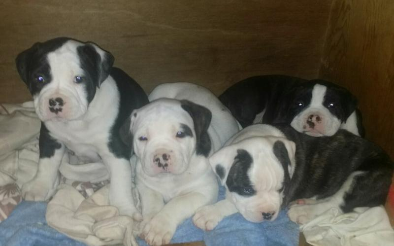 !!!!Able-bodied American Bulldog Puppies:!!!contact us at (701) -645-1164