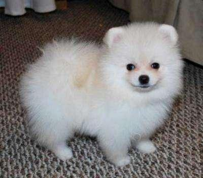Male and Female Pomeranianss Puppies Available (443) 488-5295