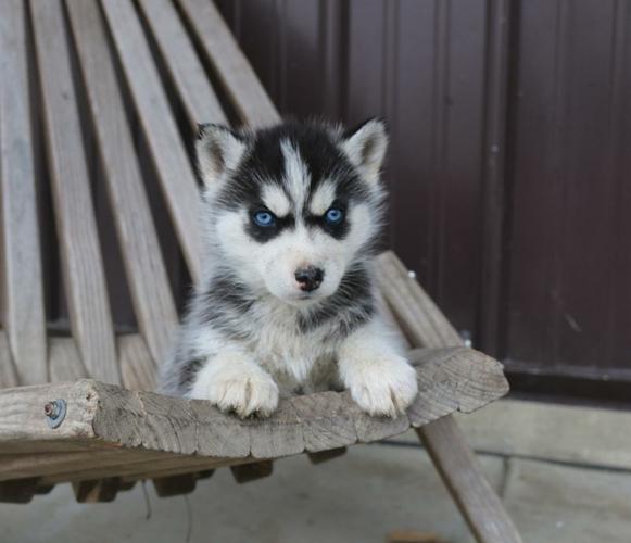 CUTE S.I.B.E.R.I.A.N H.U.S.K.Y Puppies***(731) 325 7245