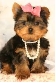 BEAUTIFUL Y.O.R.K.I.E.S Puppies: contact us at(360) 249 7199