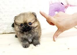 @@@ Male and Female Pomeranianss Puppies Available @@@