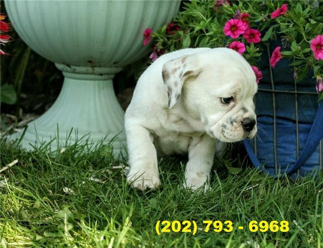 Cute English Bulldog Puppies- Active, 10 wks