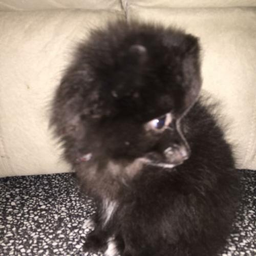3TeaCup Pomeranianss puppies (203) 587-7698