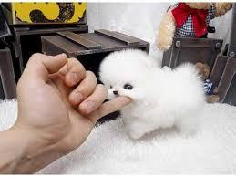 ****Tiny Toy Pom's with GREAT ***** personalities!!(252) 678-5431