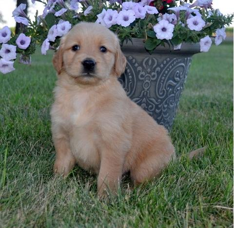 Pennysaver Putty Trained Golden Retriever Puppies For Sale In Los